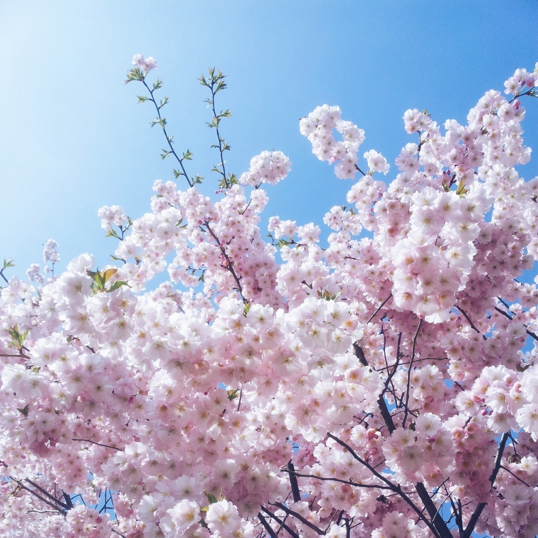 team cherry blossom <3